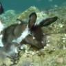 Çanakkale Boğazı'nda Tavşan Yiyen Bir Ahtapot Görüntülendi (Video)