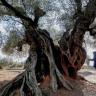 3 Bin Yıllık Ağacın Yaşıyla İlgili Gizemi, Türk Nükleer Fizikçiler Çözdü