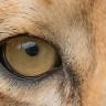 Aslanların, Optik İllüzyonlardan İnsanlar Gibi Etkilendiği Keşfedildi