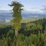 Genetik İşaretler, Ağaçları Kurtarmada Oldukça Önemli Bir Rol Oynayacak