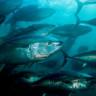 Okyanusların Bugüne Kadar Görülmeyen Hızda Oksijen Kaybettiği Açıklandı