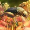 Kehribar İçerisinde Bulunan Böcek, Polen Yaymanın Ne Kadar Eskiye Dayandığını Gösterdi