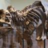 75 Milyon Yıllık Fosile Ait Kan Hücresi Bulundu