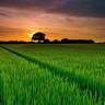 Bilim İnsanları, Pirinç Tanelerinin Verimini Artıran Yeni Bir Yöntem Keşfetti