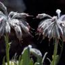 Dünyada Sadece Denizli'de Yetişen Yeni Bir Bitki Türü Keşfedildi