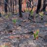 Kül Olan Avustralya'da Doğa, Yeniden Canlanmaya Başladı