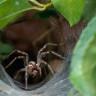 Avustralya Şimdi de Bir İnsanı 10 Dakikada Öldürebilen Örümceklerle Uğraşıyor