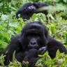Nadir Görülen Dört Dağ Gorili, Yıldırım Çarpması Sonucu Öldü